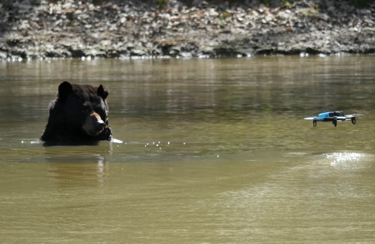 black bear in a lake and a drone flying close by it